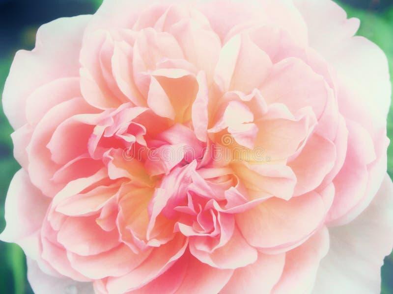 O centro de um cor-de-rosa aumentou imagem de stock