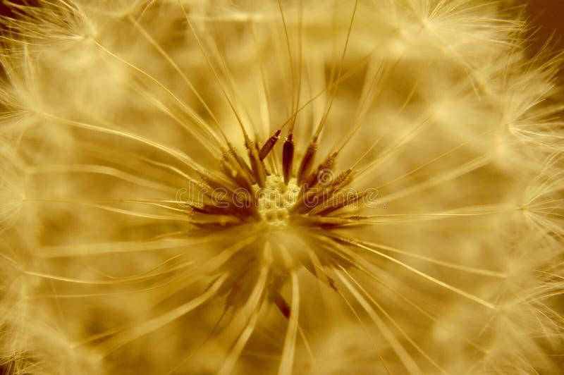 O centro ou o núcleo macro de um dente-de-leão que olhe o estrangeiro e aprontam-se para fundir sementes no vento imagem de stock