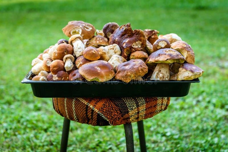 O cepa-de-bordéus, o bolo da moeda de um centavo ou o porcino são cogumelo comestível selvagem foto de stock