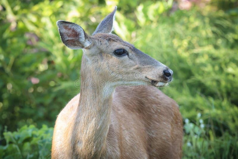 O cervo atado preto olha ao lado foto de stock