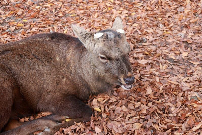 O cervo com chifre eliminado que estabelece na queda deixa o assoalho no parque em Nara, Japão imagens de stock