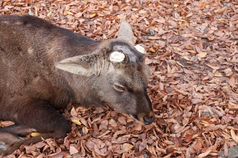O cervo com chifre eliminado que estabelece na queda deixa o assoalho no parque em Nara, Japão fotos de stock royalty free