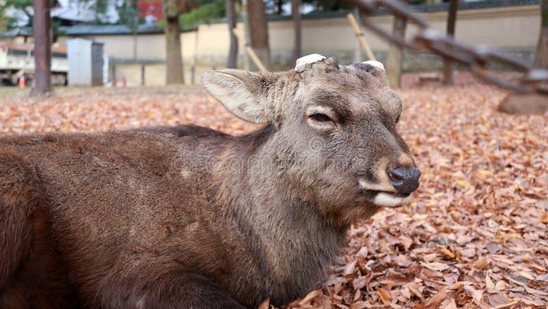 O cervo com chifre eliminado que estabelece na queda deixa o assoalho no parque em Nara, Japão fotografia de stock royalty free