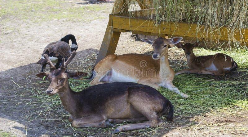 O cervo de Elds com chifres de veludo descansa com a família perto do comedoiro com feno fotografia de stock