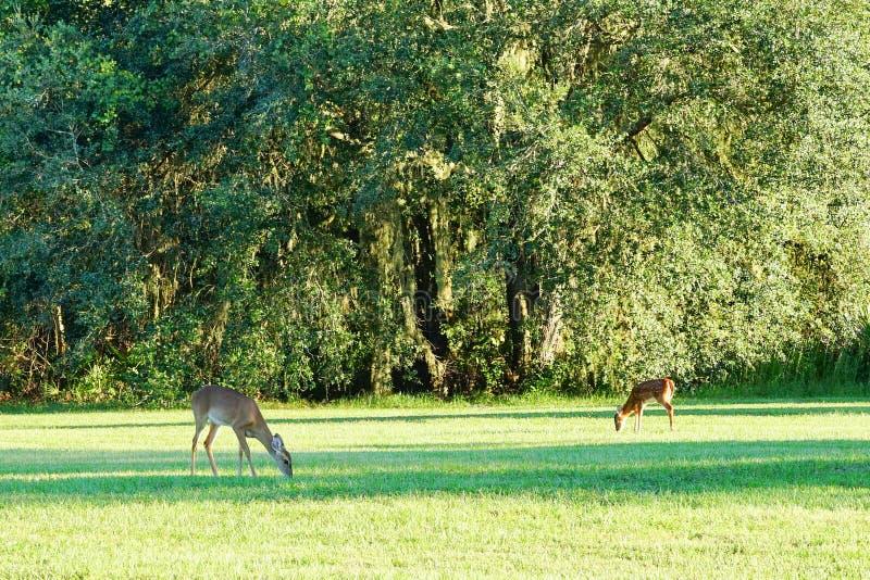 O cervo está comendo a grama foto de stock