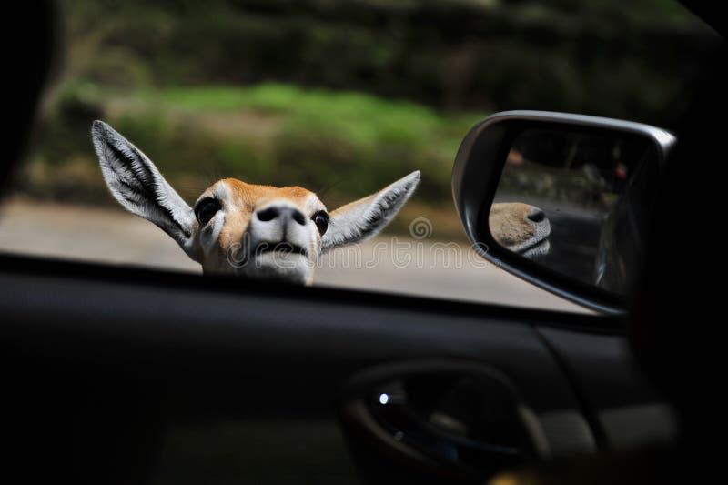 O cervo marrom está espreitando ao lado da janela de carro fotografia de stock royalty free