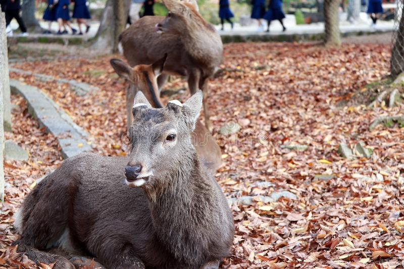 O cervo que estabelece na queda deixa o assoalho no parque em Nara, Japão foto de stock royalty free