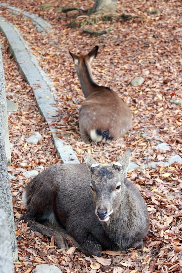 O cervo que estabelece na queda deixa o assoalho no parque em Nara, Japão fotos de stock