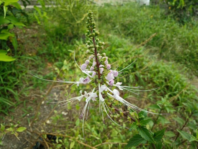 O chá de Java, planta de chá do rim, aristatus de Orthosiphon da árvore das suiças do gato é uso medicinal da erva para diurético fotos de stock