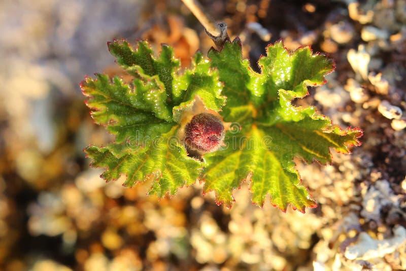 O chamaemorus do Rubus, nomes comuns inclui o cloudberry e o bakeapple fotografia de stock