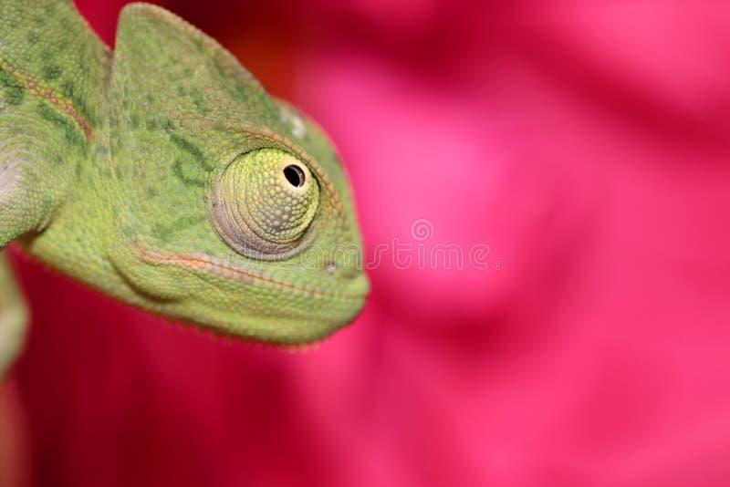 O Chameleon e levantou-se imagens de stock