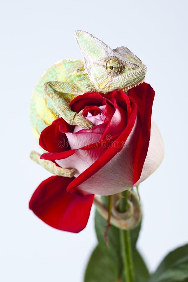 O Chameleon em levantou-se fotografia de stock royalty free