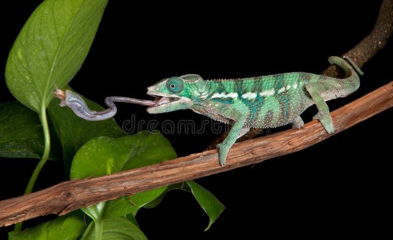 O Chameleon trava o grilo fotografia de stock