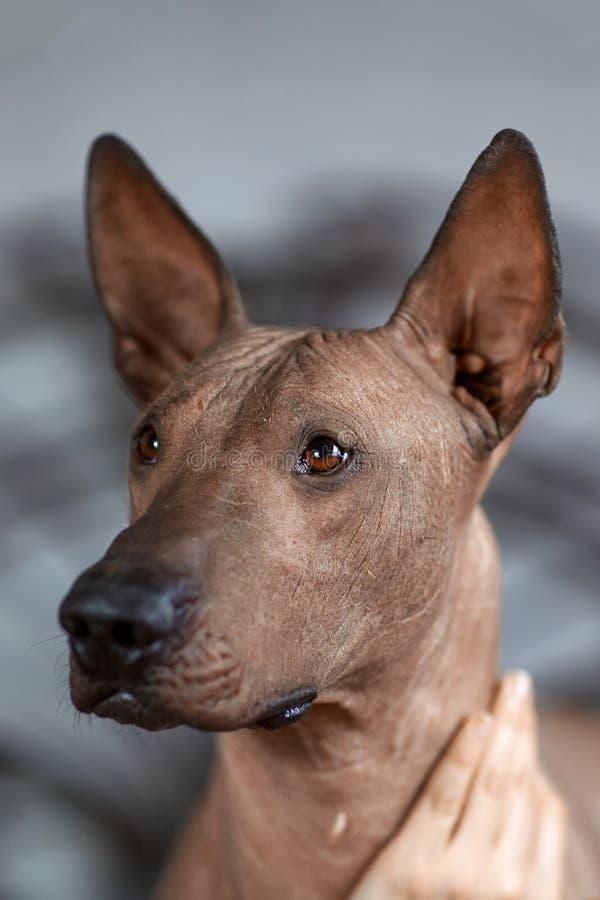 O chefe da raça Xolotizcuintle Mexicana Hairless Dog, de tamanho padrão, visão frontal fechar retrato Bonita, inteligente e cônic fotografia de stock royalty free