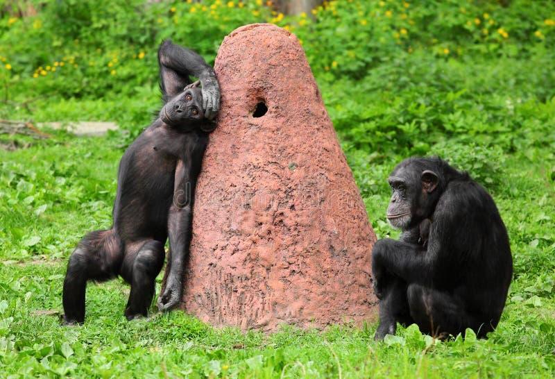 O chimpanzé. imagens de stock