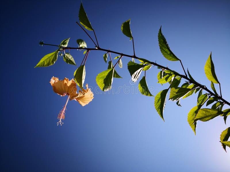 O chinês alaranjado cor-de-rosa ou a flor cor-de-rosa do hibiscus com verde saem no fundo vívido fino do céu azul foto de stock royalty free