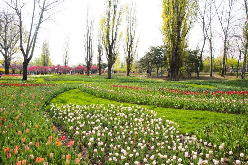 O chinês de Ásia, jardim botânico do Pequim, na primavera, jardinando, floresce imagem de stock royalty free