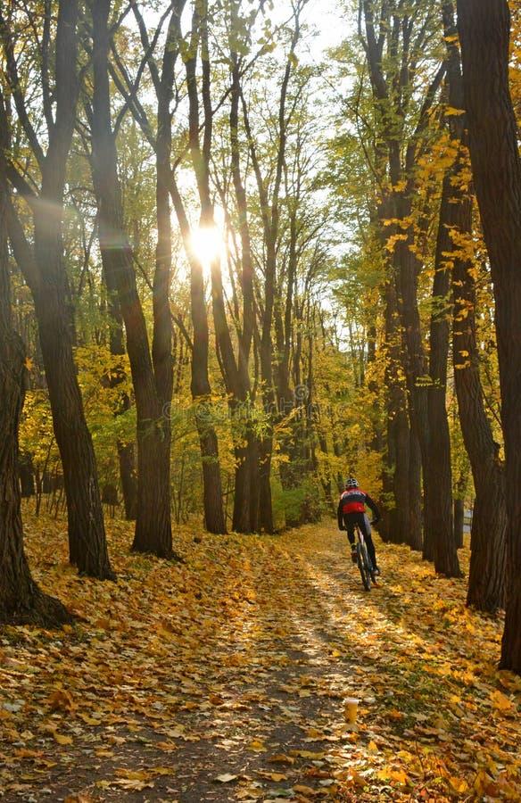 O ciclista monta na paisagem dourada do outono da floresta do outono no fundo do sol de ajuste Tapete das folhas de bordo fotos de stock royalty free