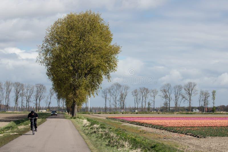 O ciclista na estrada secundária holandesa perto da tulipa colorida coloca imagens de stock