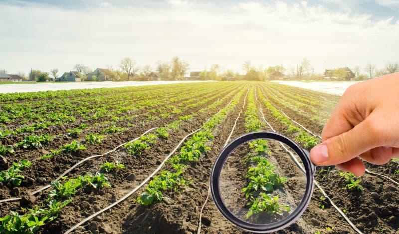 O cientista do alimento verifica a batata para ver se há produtos químicos e inseticidas Qualidade do estudo do solo e da colheit foto de stock