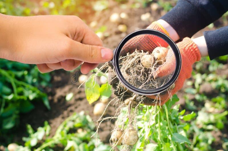 O cientista do alimento verifica batatas para ver se há produtos químicos e inseticidas Vegetais úteis pomology um arbusto de bat foto de stock royalty free