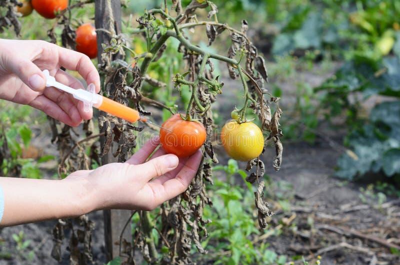 O cientista entrega a injeção de produtos químicos da seringa no tomate vermelho GMO O conceito para o produto químico trata o al foto de stock