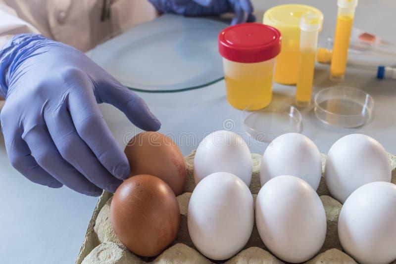 O cientista no laboratório investiga a crise causada pela fraude dos ovos contaminados com fipronil foto de stock royalty free