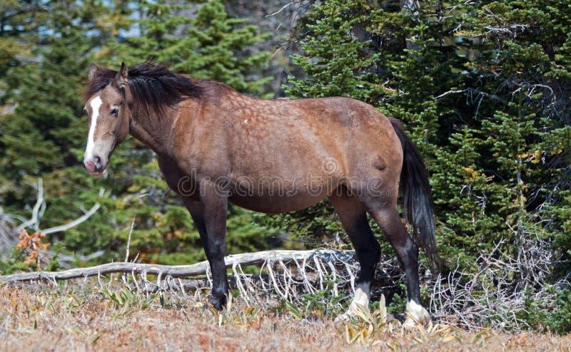 O cinza e a baía de Grulla do cavalo selvagem coloriram a égua que anda ao longo de Sykes Ridge acima da bacia da xícara de chá n imagens de stock royalty free