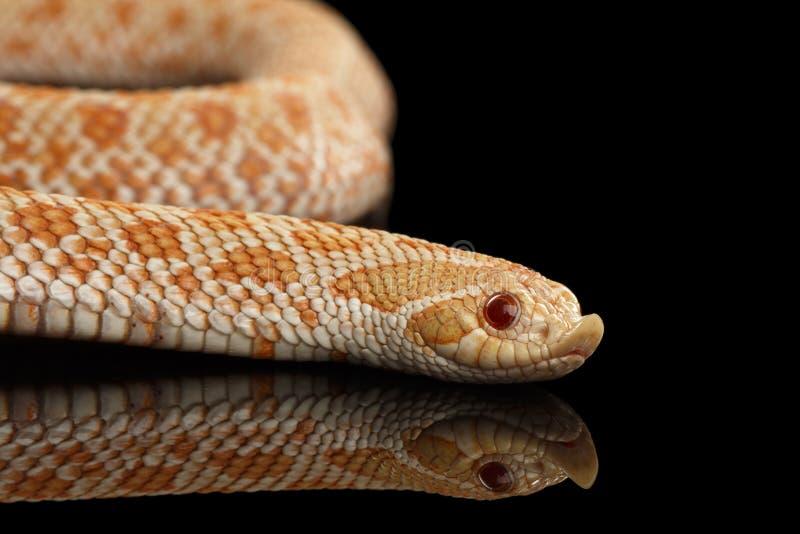 O close up Albino Western Hognose Snake cor-de-rosa, nasicus do Heterodon isolou o preto fotos de stock