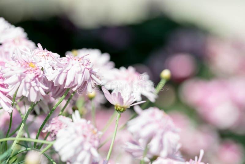 o close up completo horizontal do comprimento disparou de flores roxas róseos foto de stock royalty free
