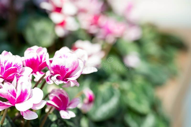 o close up completo horizontal do comprimento disparou de flores roxas róseos fotografia de stock