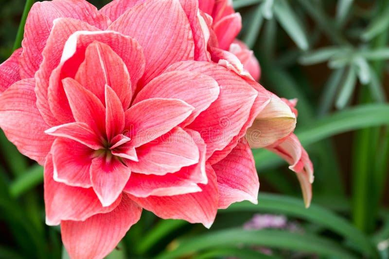 o close up completo horizontal do comprimento disparou do fundo das flores do vermelho foto de stock royalty free