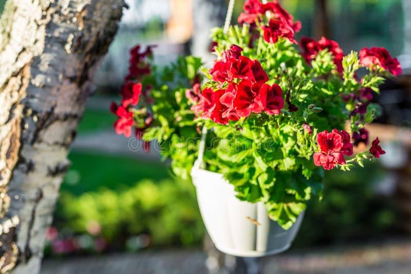 O close-up da cesta branca de suspensão com o petúnia vermelho brilhante floresce Jardim verde com vidoeiro e potenciômetros do s imagem de stock
