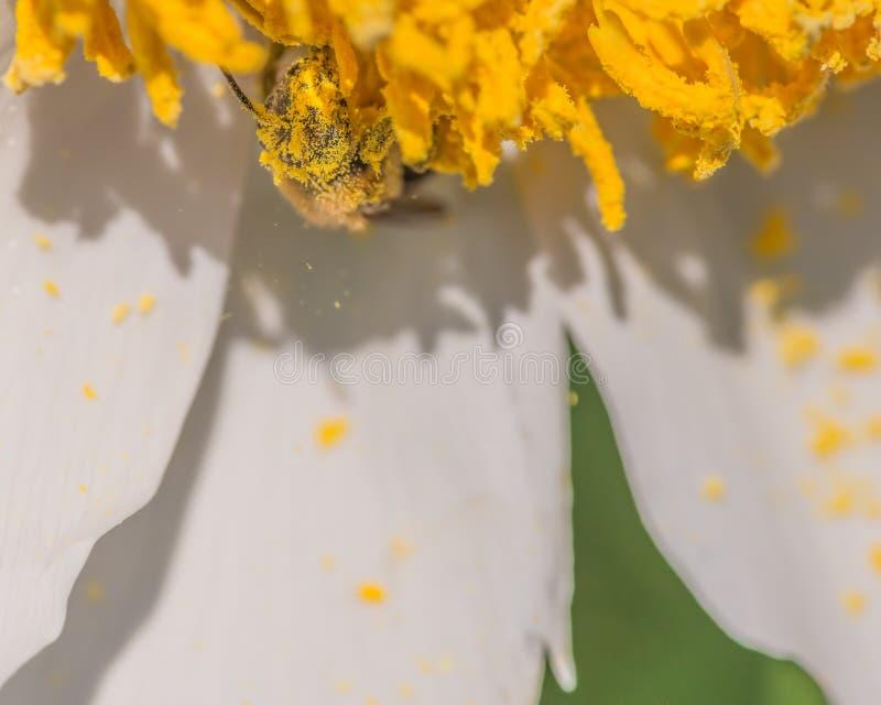 O close up da espécie da abelha absolutamente doused e envolveu pelo pólen amarelo como mais quedas do pólen ao fluxo branco e am fotografia de stock