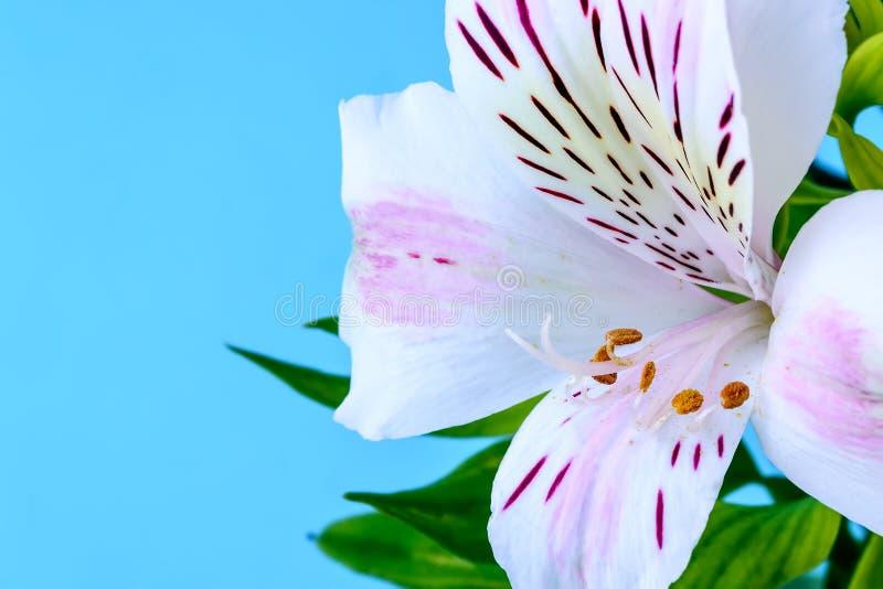 O close-up da flor branca do alstroemeria, chamou geralmente o lírio peruano ou o lírio dos Incas e do espaço da cópia em um azul foto de stock