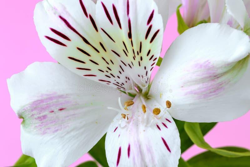 O close-up da flor branca do alstroemeria, chamou geralmente o lírio peruano ou o lírio dos Incas em um fundo cor-de-rosa Flores fotografia de stock royalty free