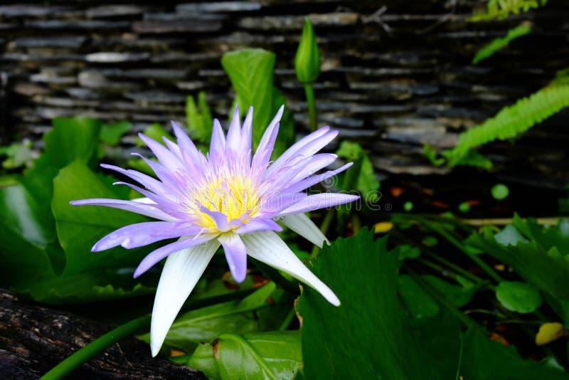 O close-up da flor de lótus bonita do perple e os lótus verdes folheiam i fotos de stock