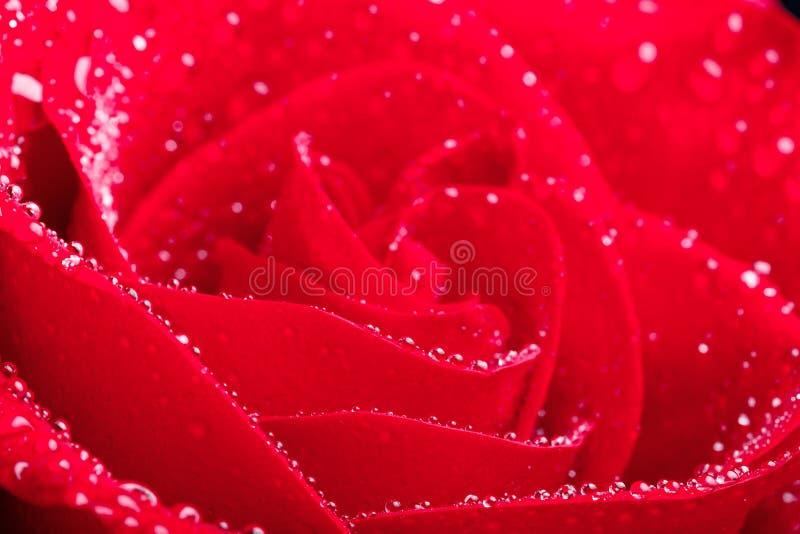 O close-up da flor de Rosa com gotas da água, vermelho brilhante destacado aumentou fotos de stock