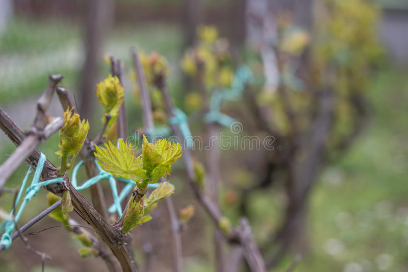 O close up da mola brota brotar em uma vinha 2 foto de stock royalty free