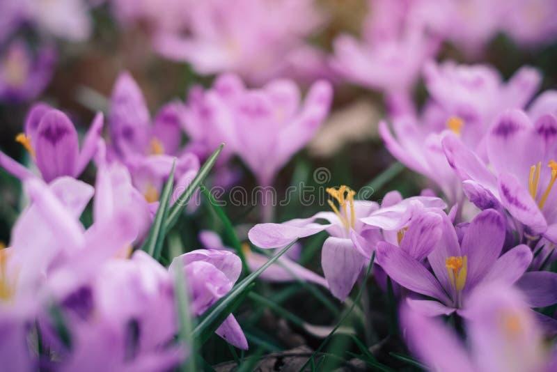O close up da mola dos açafrões floresce na floresta fotos de stock royalty free