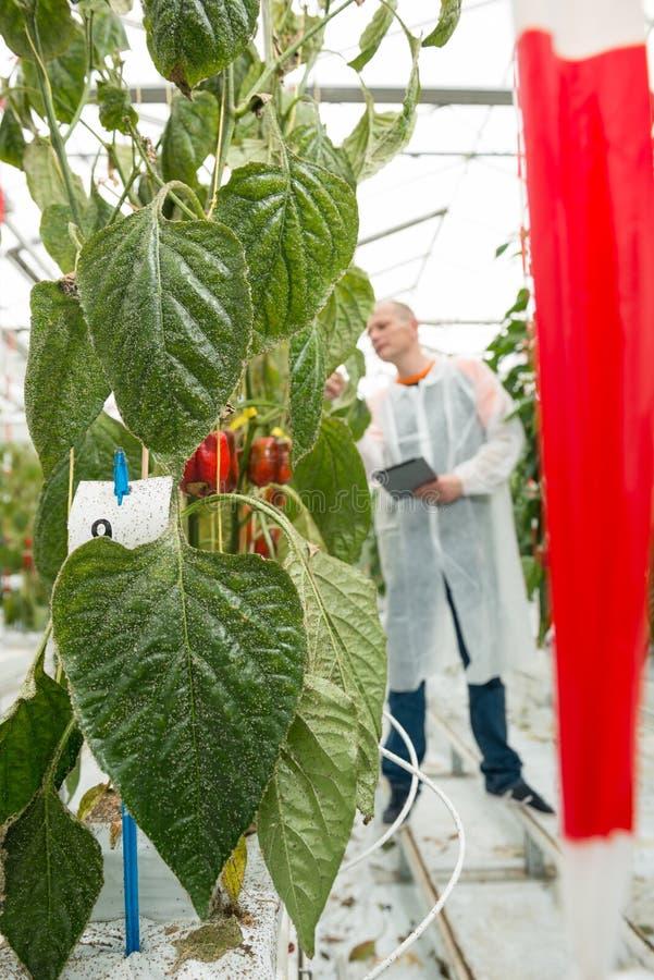O close up da pimenta de sino vermelha sae com o cientista que trabalha dentro para trás foto de stock