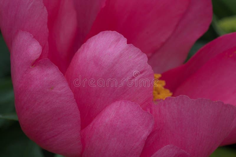 O close up das grandes pétalas cor-de-rosa do selvagem aumentou foto de stock