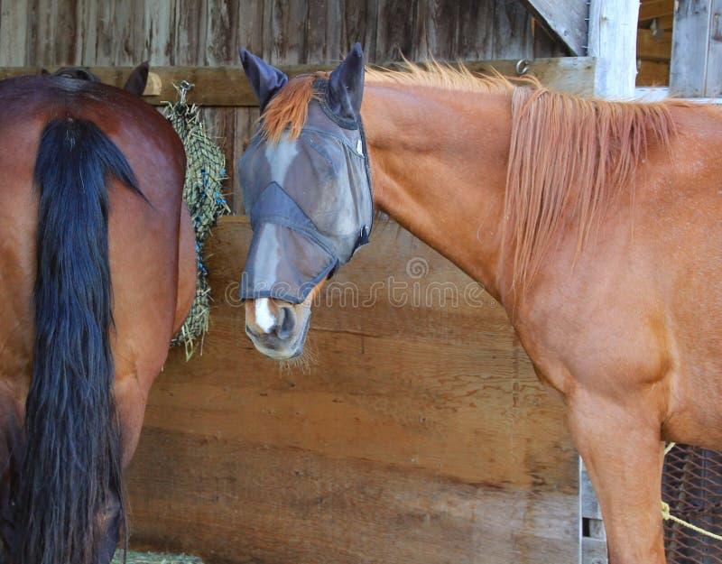 O close up de dois cavalos no abrigo de madeira fora, na m?scara vestindo da mosca do cavalo, o outro feno comer com parte trasei fotografia de stock