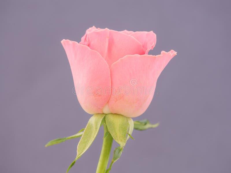 O close-up de um cor-de-rosa aumentou foto de stock