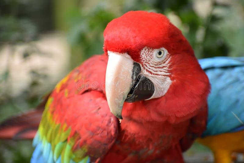 O close up de um verde vermelho bonito colorido voou a arara em África do Sul fotografia de stock royalty free