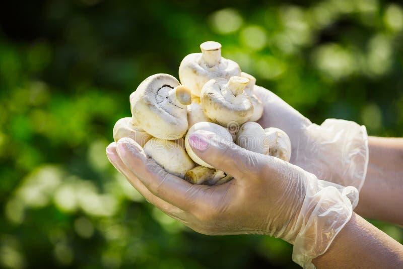 O close-up de uma mão do ` s do fazendeiro nas luvas transparentes de borracha guarda cogumelos dos cogumelos fotografia de stock