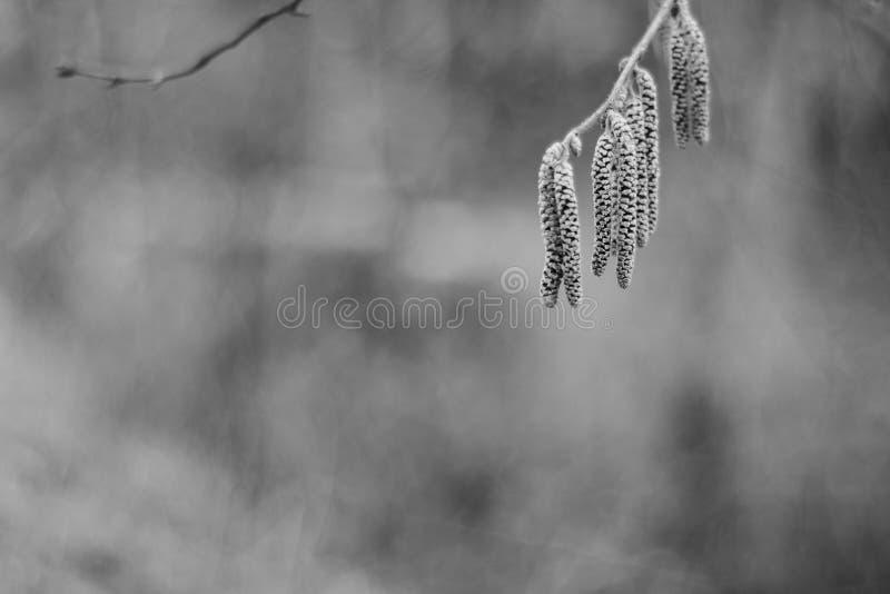 O close up disparou de amentilhos de uma árvore de vidoeiro em um fundo marrom natural foto de stock royalty free