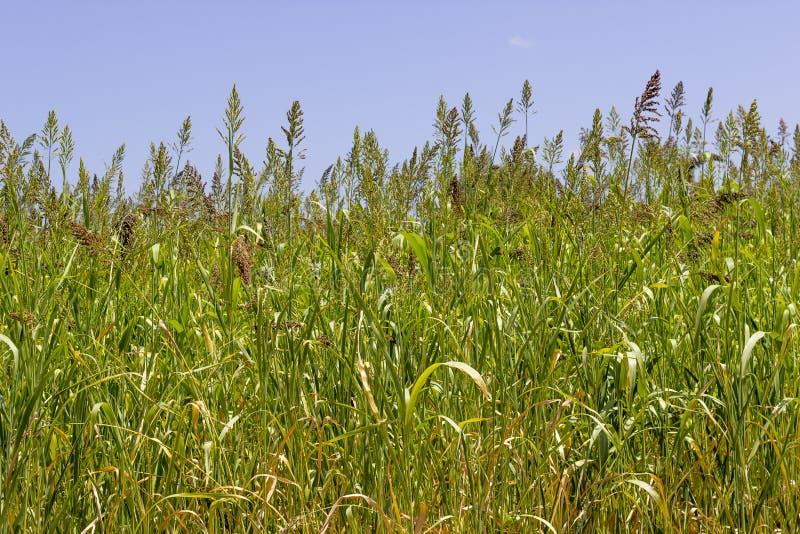 O close-up disparou de plantas da baga de trigo em ordem imagem de stock royalty free