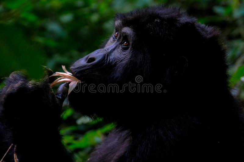 O close up disparou de um macaco que come com fundo natural borrado foto de stock