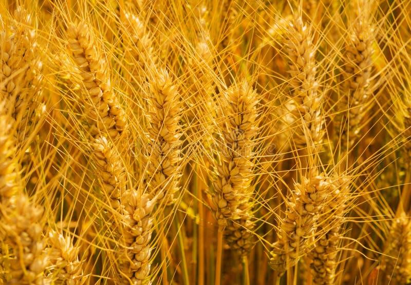 O close up disparou do campo de trigo dourado no dia de verão ensolarado fotografia de stock royalty free